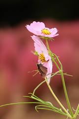 DSC_6636 (Hachimaki123) Tags: 所沢航空記念公園 tokorozawaaviationmemorialpark 日本 japan 所沢市 埼玉県 所沢 tokorozawa saitama animal insect insecto 虫 動物 butterfly mariposa