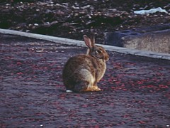 Blurry Bunny (Bricheno) Tags: ferryvillage braehead renfrew rabbit bunny bricheno scotland escocia schottland écosse scozia escòcia szkocja scoția 蘇格蘭 स्कॉटलैंड σκωτία