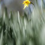 Impressionistic daffodil thumbnail