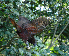 IMG_8397_lzn (kattabrained) Tags: nestormeridionalis underwing flying parrot