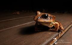 Great Barred Frog (Mixophyes fasciolatus) (McCall Wildlife Photography) Tags: 2019 australia d7500 mccallwildlifephotography northtamborine queensland tamborinemountain wildlife frog mixophyes mixophyesfasciolatus greatbarredfrog barredfrog amphibian