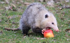 Virginia opossum at Lake Meyer Park IA 653A7050 (naturalist@winneshiekwild.com) Tags: virginia opossum eating apple lake meyer park winneshiek county iowa larry reis