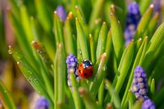 _IGP6661 (semenov729) Tags: insect macro ladybug drops macrounlimited