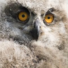 Owl in close up (Bram Meijer) Tags: birdofprey uil owl square vierkant settelsroofvogels