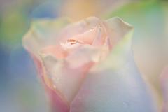 Rosebud (Barrie T) Tags: macromondays pastel rosebud waterdroplets macro closeup canoneos6dmarkii home pastelcolours