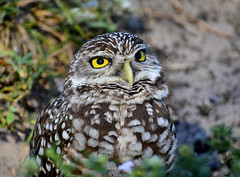 burrowing owl (BMADHudson) Tags: burrowingowl owl bird 2019 eyes closeup nikon nikond5500 florida southflorida
