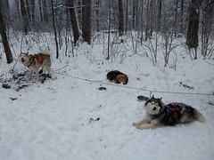 IMG_20190113_110606127 (LifeIsForEnjoying) Tags: dogs snow mushing dog sledding husky huskies kaskae nike sitka