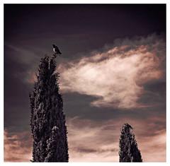 solitude (Pepenera) Tags: crow bird cornacchia albero uccelli elaborazione