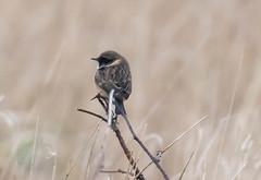 Stonechat (Liam Waddell) Tags: bird bogside sssi irvine ayrshire scotland sky