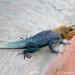Volta River Lizard