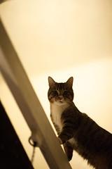 [ハチマロ通信] 吹き抜けの上からマーロウ (moriyu) Tags: japan tokyo nikon d700 cat 猫 東京 ニコン