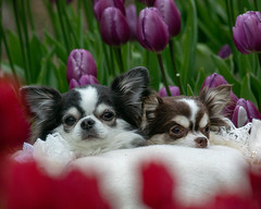 Lovely dogs and Tulips (shinichiro*) Tags: 20190112dsc6193 2019 crazyshin nikon1v3 v3 1nikkorvr70300mmf4556 january winter dogs flower tulips enoshima kanagawa japan jp 江ノ島 33170129598 candidate
