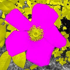 Tests of a Rose 1 (sjrankin) Tags: 12february2019 edited test output app cellphoneapp flower rose hamanasu yuni yunigarden closeup