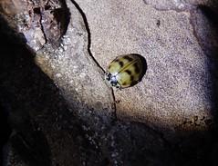 Cream streaked ladybird (rockwolf) Tags: creamstreakedladybird coccinelle coccinellidae harmoniaquadripunctata cocinelleà4points beetle coleoptera insect pine grinshill shropshire rockwolf