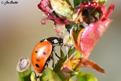 Ladybird (Jen Buckle) Tags: ladybird ladybug coleoptera beetle beetles bugs bug rosebush rose nature wildlife insect insects spots