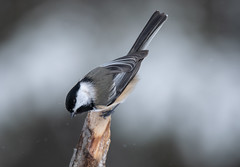 Black-capped Chickadee (NicoleW0000) Tags: blackcappedchickadee chickadee songbird bird winter snow pose wildlife naturephotography
