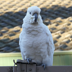 Cocko (PhotosbyDi) Tags: cockatoo sulphurcrestedcockatoo australiancockatoo australia bird backyardbirds panasonicfz300 lumixfz300 panasoniclumix