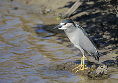 1DX13139 View Large. Black-crowned Night Heron. Keālia Pond, Maui (E.W. Smit Wildlife.) Tags: gitzo gitzotripod g1325mk2 gitzog1325mk2 gitzog1325mk2tripod wimberley wimberleygimbalheadwh200 wimberleygimbalhead wimberleywh200 gimbalhead ef500mmf4lisii ef500mmf4lisiiusm canonef500mmf4lisiiusm wildanimals tourist tourists telephotolens tripod unitedstatesofamerica usa outdoors outdoor supertelephotolens island bird birds ocean pacificocean animal avian animals wildanimal hawaii mauihawaii maui mauimarriottsoceanclub canon nature wildlife blackcrownednightheron heron kaanapali kaanapalimaui rookery canoneos1dx 1dx canon1dx canonef500mmf4lisii canonef14xextenderiii canonef14xiii eos1dx park parks canonef500mmf4lisiiusm14xiii canonef500mmf4lisii14xiii ef500mmf4lisii14xiii ef500mmf4lisiiusm14xiiikeāliapond keāliapondnationalwildliferefuge pond aquaticbird kiheimauihawaii kiheimaui lake 14xiii canonef14xextenderii