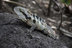 Eastern Water Dragon (Geoffsnaps) Tags: australianwaterdragon australian water dragon intellagamalesueurii physignathuslesueurii easternwaterdragon eastern nikond810 nikon d810 fx nikkor afs acratechpanoramichead acratech panoramic head gitzogm5541carbonmonopod gitzo gm5541 carbon monopod ilovenature animals nature beautiful beautyofnature nikonafsnikkor24120mmf3556gifedvr nikonafsnikkor 24120mm f3556g if vr