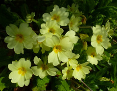 Primroses (Durley Beachbum) Tags: odc spring primrose flower march bournemouth primulavulgaris