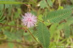 Mimosa pudica (GeeC) Tags: mimosoideae tatai cambodia tracheophyta nature plantae kohkongprovince mimosapudica fabaceae fabales magnoliopsida rosanae mimosa vascularplants ឃុំឫស្សីជ្ ឃុំឫស្សីជ្រុំ kh