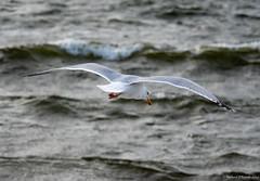 flight (Rourkeor) Tags: ayrshire firthofclyde largs mzuikodigitaled12‑100mm140ispro m43 omdem1markii olympus scotland uk wildlife beak bird flight fly mft microfourthirds nature sea seagull water waves wings unitedkingdom gb