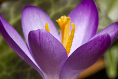 Crocus (brucetopher) Tags: purple flower crocus blossom spring season changeofseason bloom yellow pollen sun sunshine bright happy joy awakening awake alive live life nature natural open opened up grow growing flora signsofspring seasons changeofseasons purpleflower crocuses forestfloor garden