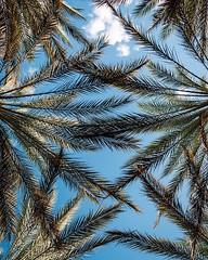 Having a few nice days and then falling back into this drab 30* #rochesterny weather, I'm really wishing that I was back in #florida staring at the palms . . . . . . . ********* #trees #sky #travel #traveling #travelers #travelbug #travelphotography #expl (IAMLESHER Photography) Tags: ifttt instagram having few nice days then falling back this drab 30 rochesterny weather i'm really wishing that i was florida staring palms trees sky travel traveling travelers travelbug travelphotography exploring explorer wanderer wanderlust travelgram natgeotravel fujifilm myfujifilm fujifilmxseries fujifilmxus fujixlovers fujifeed myfujilove xt3 instagood artofvisuals fujifilmglobal fujifilmnorthamerica