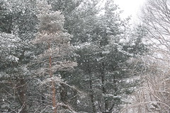 Living in a Snowglobe (eyriel) Tags: winter snow snowflake snowflakes tree trees snowcover