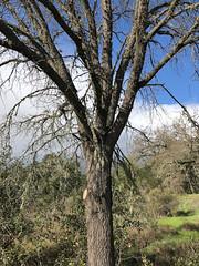 Valley Oak - Quercus lobata - Napa River Ecological Reserve, Napa County, California, USA - February 4, 2019 (mango verde) Tags: valleyoak quercuslobata fagaceae quercus lobata tree napariverecologicalreserve napacounty california usa mangoverde
