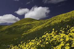 Golden Hills (Lisa Roeder) Tags: wildflowers landscapes openspace superbloom bitterwater