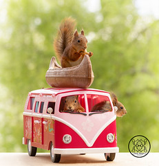 red squirrels sitting in an camping bus   with canoe (Geert Weggen) Tags: mammal rodent squirrel nature animal red flower closeup cute funny happy summer look tender love redsquirrel backgrounds colorimage environment nopeople photography volkswagen bus retrostyled hippie minivan oldfashioned vanvehicle camping car collectorscar driving landvehicle outdoors stationwagon transportation kayak canoe boat ride road square geert weggen sweden bispgården ragunda jämtland hardeko