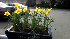 Daffodils flowering in Mayfield Road shops carpark  20th March 2019 001 (D@viD_2.011) Tags: daffodils flowering mayfield road shops carpark 20th march 2019