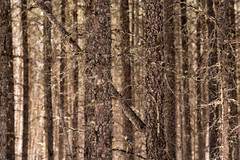 'In and out of focus ... ' (Canadapt) Tags: blackspruce forest trees stand keefer canadapt
