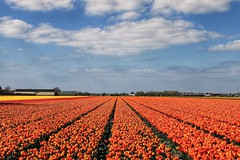 Tulips (wimkappers) Tags: explore tulips lines dutch scenery flowers colorful holland spring amazing travel landscape dutchlandscape