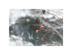 Rose Hips in Winter ([ Time - Beacon ]) Tags: tb winter snow rosehip rosehips dogrose snowing
