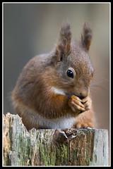 IMG_0064 Red Squirrel (Scotchjohnnie) Tags: redsquirrel sciurusvulgaris squirrel squirrelphotography mammal rodent wildanimal wildlife wildlifephotography wildandfree nature naturephotography canon canoneos canon7dmkii canonef70200mmf28lisiiusm scotchjohnnie