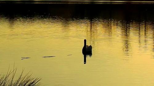 DSCN8040 oiseau aquatique 06 (cygne lac reflet jaune doré ondulation coucher de soleil) Neuville