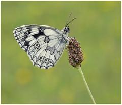 Marbled White (nigel kiteley2011) Tags: butterfly macro nature butterflies wildlife melanargia marbled white canon 5dmk3