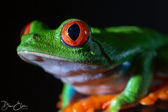 Red Tree Frog (Dan Elms Photography) Tags: redtreefrog treefrog frog reptle reptile danelms danelmsphotography wwwdanelmsphotouk