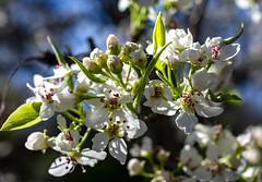 arboretum (valerie something or other) Tags: flower winter raleigh carolina arboretum white