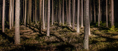 Into the Woods (Bill Ferngren) Tags: atmosphere bill ferngren landscape lines night pinetree theforest thewoods treetrunks tribe tribes wood tree light carlight abstract