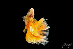 Siamese fighting fish isolated on black background. Fish gold color. Betta Fish yellow on black Background. Black isolate. Space for text. (pomp_jaideaw) Tags: fish fighting siamese betta black isolated background animal motion white aquarium beauty beautiful splendens tail fight nature abstract exotic tropical aquatic yellow half moon swimming crown aggressive fin dragon color art space water colorful blue dress pet biology fancy beta plakad luxury domestic action underwater design macro moving thai