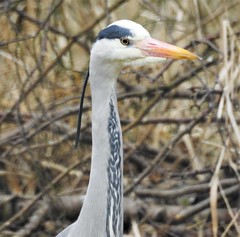 Grey Heron - Side Profile (Gilli8888) Tags: nikon p900 coolpix thornleywood thornleyhide tyneandwear nature birds heron greyheron waterbirds profile side head bill