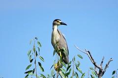 Black Crowned Night Heron (Patricia Henschen) Tags: alamosacolorado alamosa alamosanationalwildliferefuge nationalwildliferefuge colorado bird blackcrownednightheron heron