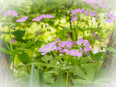 Happy First Day of Spring (Shannonsong) Tags: cranesbill wildflowers spring lavender flowers blooms garden nature plants blossoms geranium