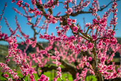 fiori pesco (alessior) Tags: nature season stagione spring garden pesco peach colour colours pink sky lightblue beautiful bloom blooms blossom floral florals flower floweroftheday flowerpower flowers flowerslovers flowerstagram instablooms love petal petals plants pretty