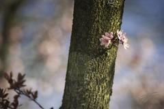 Japanese Cherry Blossom (Jan Fenkhuber Photography) Tags: nature macro hdr outdoors light sun flower 2019 skylum tree evening luminar japanesecherry japanesecherryblossom blossom pink garden auroracherryblossomflowerjapanesecherryjapanesecherryblossomplantseasonspringtree