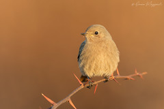 Codirossa magica (Simone Mazzoccoli) Tags: sunrise nature wild wildlife bird birds birdwatching animal animals ornithology blackredstart bokeh background colors outdoor winter magic canon