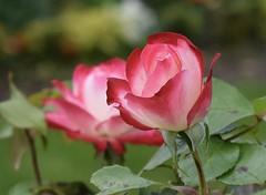 Rose (MJ Harbey) Tags: rose flower france lemans jardindesplantes rosa rosaceae pinkrose pink garden rosegarden nikon d3300 nikond3300 paysdelaloire sarthe